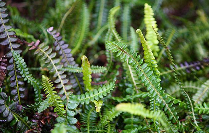 alpine baby fern